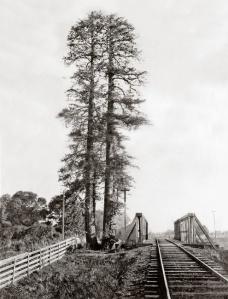 palo alto tree historical